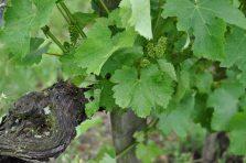 Old Sauvignon Blanc vine