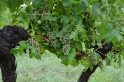 Sauvignon Blanc on old vines battered