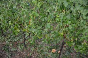 Hail ripped into grapes and leaves