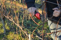 Young Sauvignon Blanc vines.