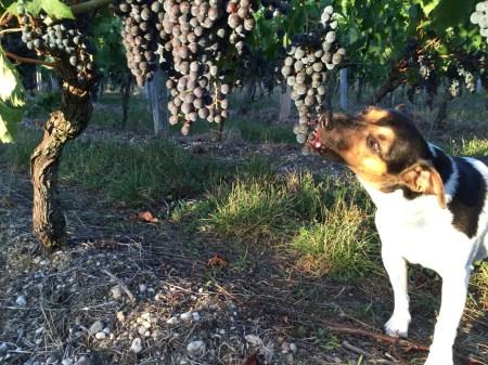 2015-Bauduc-start-of-red-harvest-03