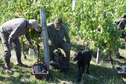 2015-Bauduc-start-of-red-harvest-16