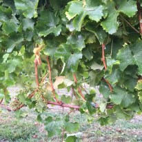 2015-Bauduc-white-harvest-13