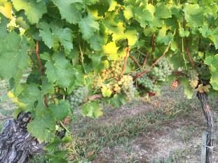 2015-Bauduc-white-harvest-14