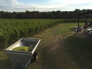 2015-Bauduc-white-harvest-26