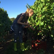 Bauduc 2016 harvest - hand picked white. Our Sophie Q with Semillon for our sparkling crémant.