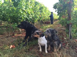 Bauduc 2016 harvest - hand picked white. Palmer, Pavie and Margaux.
