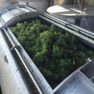 Bauduc 2016 harvest - hand picked white. Semillon for our sparkling crémant, in the press.