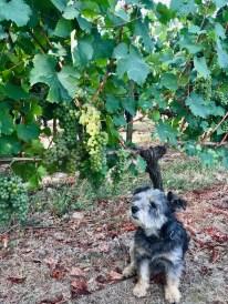 Chardonnay, 28 August