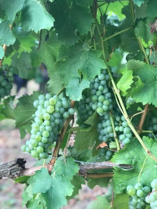 Sauvignon Blanc, 12 August
