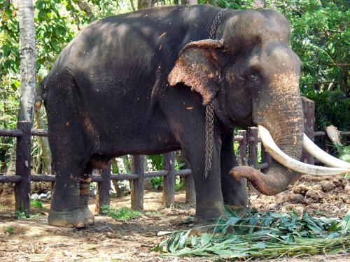 Blind Elephant Sama