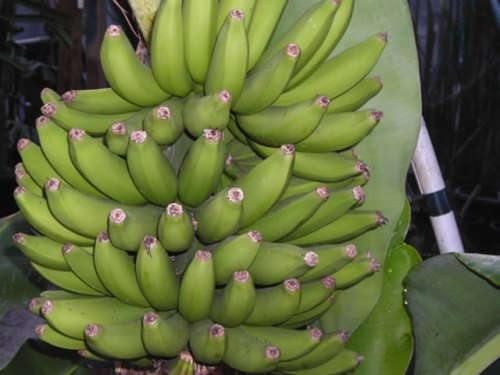 Types of Bananas: Lady Finger Banana