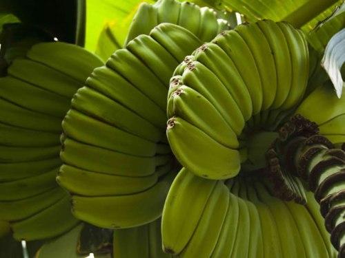 Types of Bananas: Rraying Hands Banana