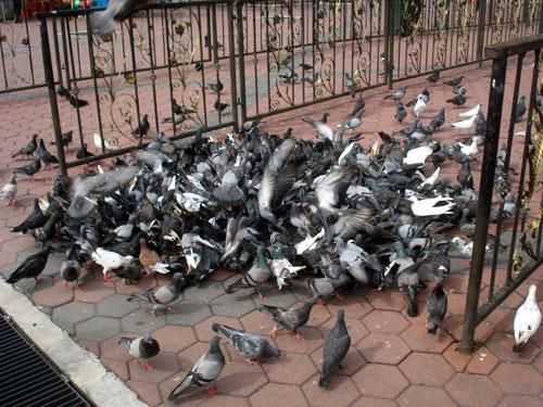 Flock of Pigeons at Batu Caves Entrance