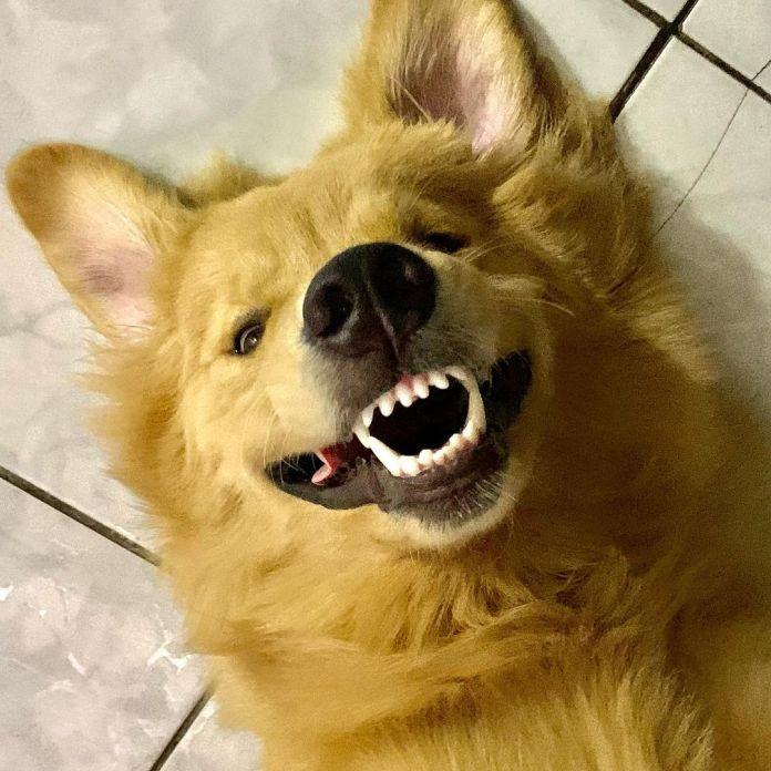El perrito Cadu - Reproducción: Instagram @cadu_golden2020