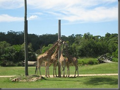 Australia Zoo giraffes (5)