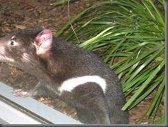 Australia Zoo Tasmanian Devil 031 (5)
