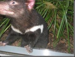 Australia Zoo Tasmanian Devil 031 (6)