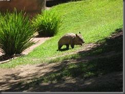 Australia Zoo wombat feeding 079 (3)