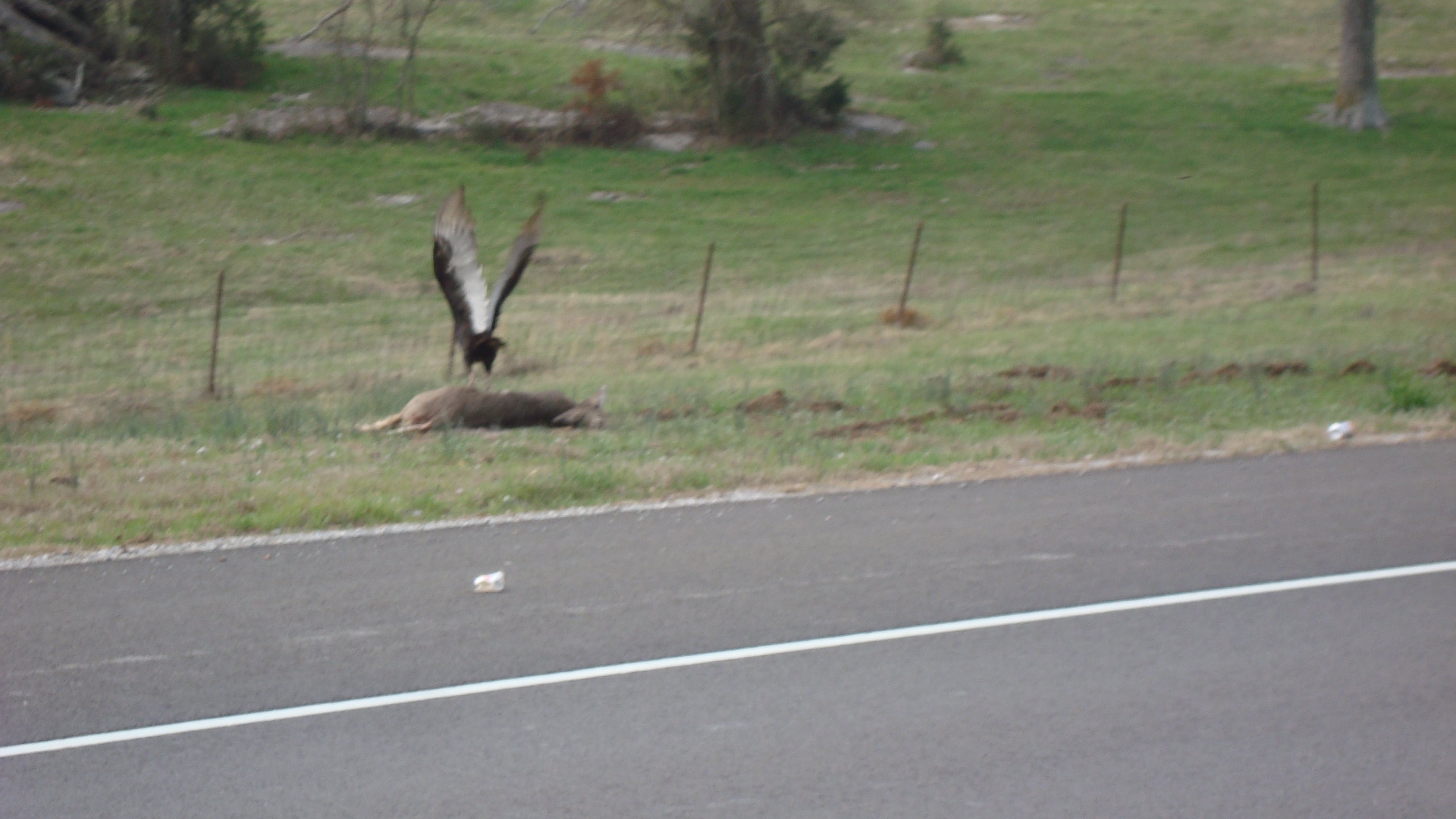 scene from the brick:  a vulture munching on a deer carcass...welcome to the country...rather pungent too.