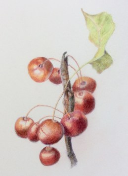 crab apple Red Sentinel - coloured pencil