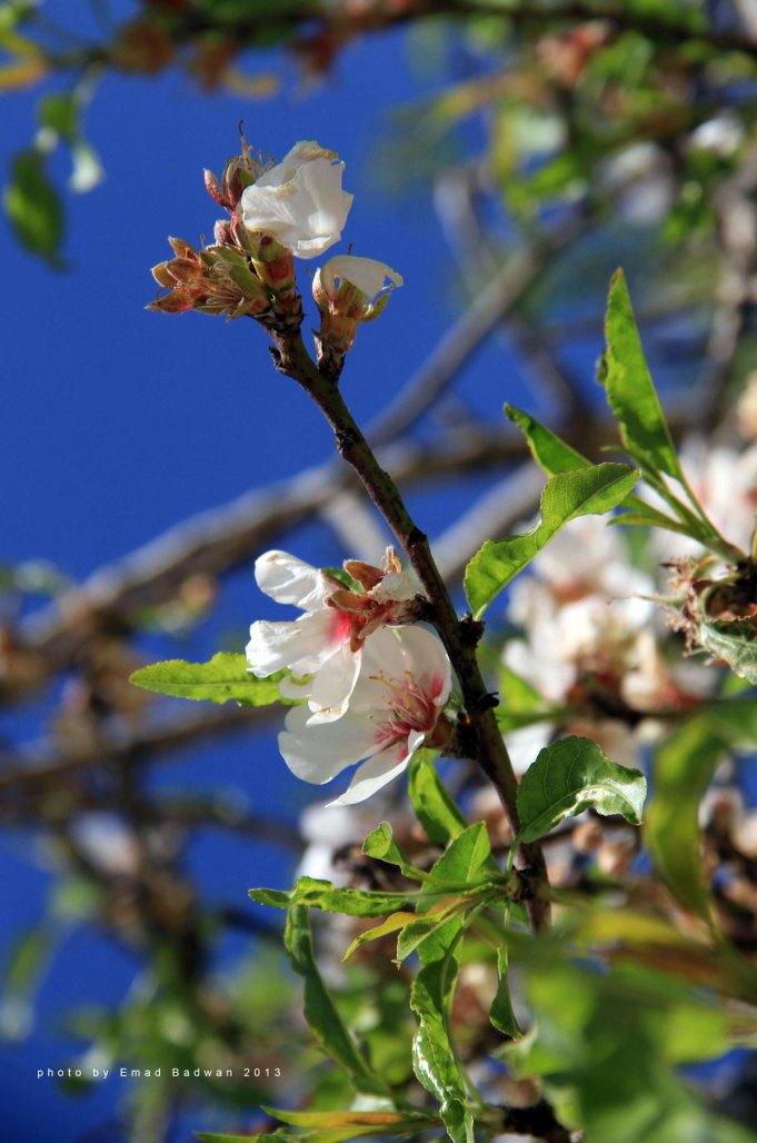 Almond flower on branch