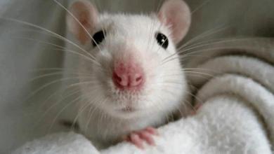 Каким знакам Зодиака год Белой Крысы даст шанс изменить свою судьбу