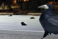 Упавшие с неба вороны в Балаково оказались здоровыми грачами