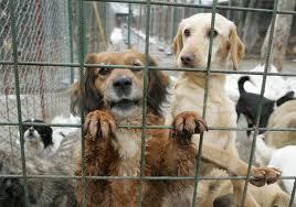 Hingherii, scăpaţi de poliţişti din mâinile iubitorilor de animale furioşi