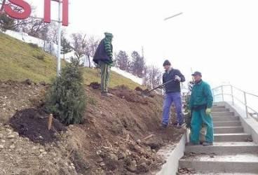 Banesti. 140 de puieţi de brad şi molid au fost plantaţi la intrarea în localitate