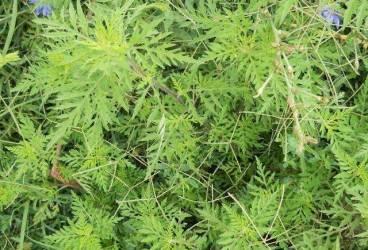 Proiect pentru distrugerea ambroziei din Ploieşti. Planta e foarte periculoasă pentru sănătatea populaţiei