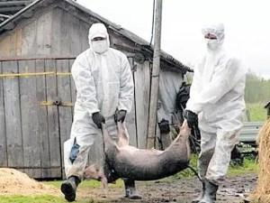 Pesta porcină se extinde. Porcii din Slăveni vor fi uciși