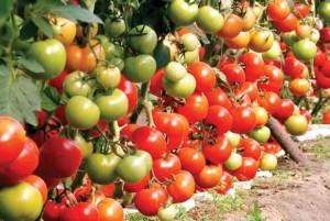 Sute de legumicultori s-au înscris în ciclul II al Programului 'Tomata'