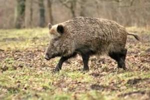 Fondul de Vânătoare de la Spineni, focar de pestă porcină?