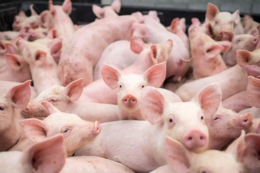 pesta porcina porci porc veterinar 7 of 7