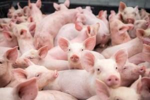 Pesta porcină continuă să facă ravagii în Olt