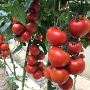 """Veşti bune pentru legumicultorii olteni: Programul """"TOMATA"""" continuă şi în 2020"""