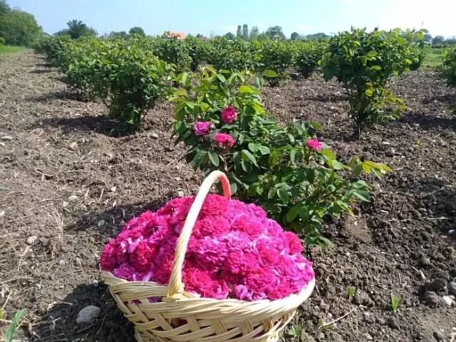 trandafir3 Bunătăți cu iz de trandafiri, made în Olt
