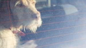 Amenzi uriașe pentru cei care-și lasă câinii singuri în mașină și pleacă la cumpărături în zilele cu caniculă