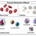 Leukocitet , Eritocitet , Trombocitet , Monocitet, Limfocitet, Eozinofilet, Bazofilet