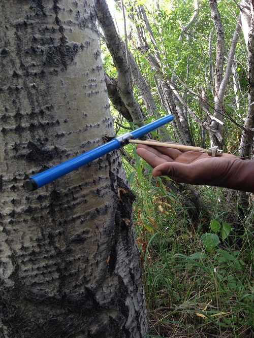 Dr. Fonkwe sampling tree core using an increment corer.