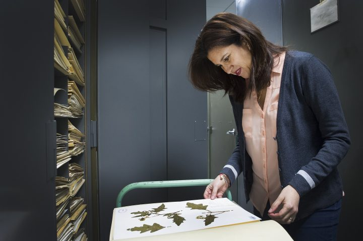 Dr. Julissa Roncal examines some of the plant specimens at the herbarium.