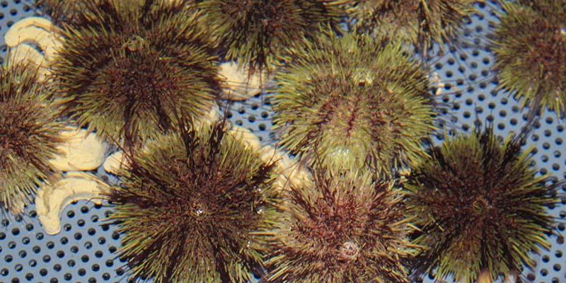 Multiple urchin feeding