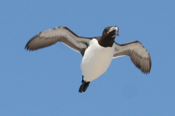 Murre catching a capelin near Funk Island