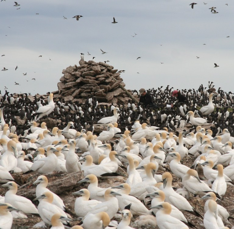 Researchers among the gannets and murres on Funk Island