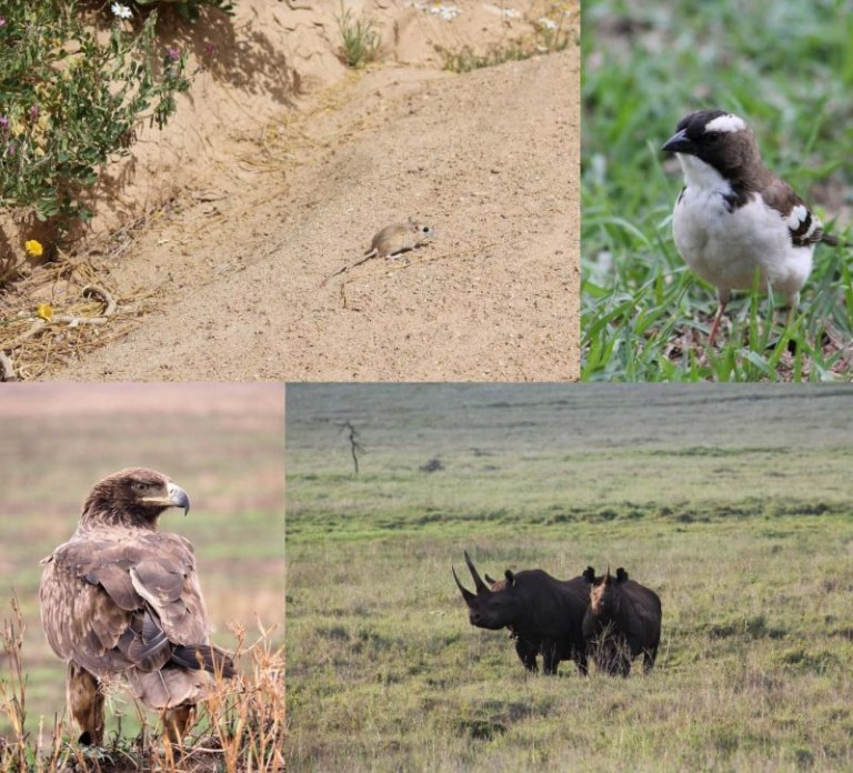 Top row: dwarf gerbil and white-browed sparrow-weaver. Bottom row: tawny eagle and black rhinoceros.