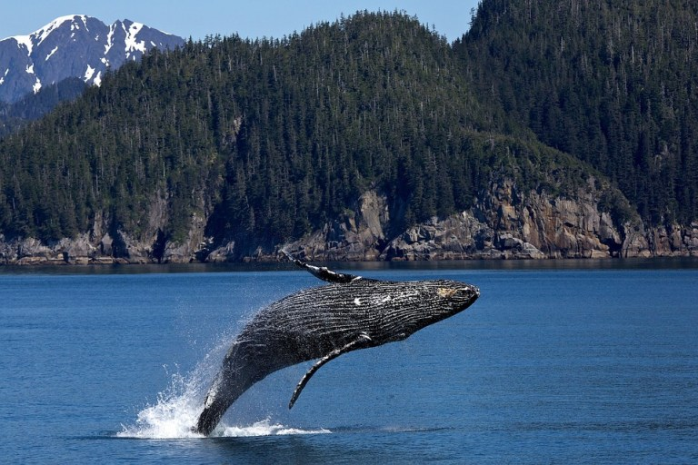 Humpback whale jumping.