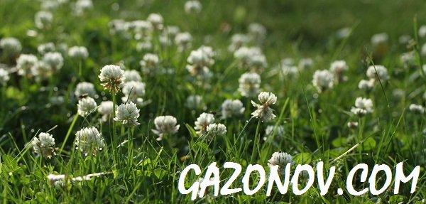 https://i1.wp.com/gazonov.com/images/upload/White_Clover_gazon1.jpg
