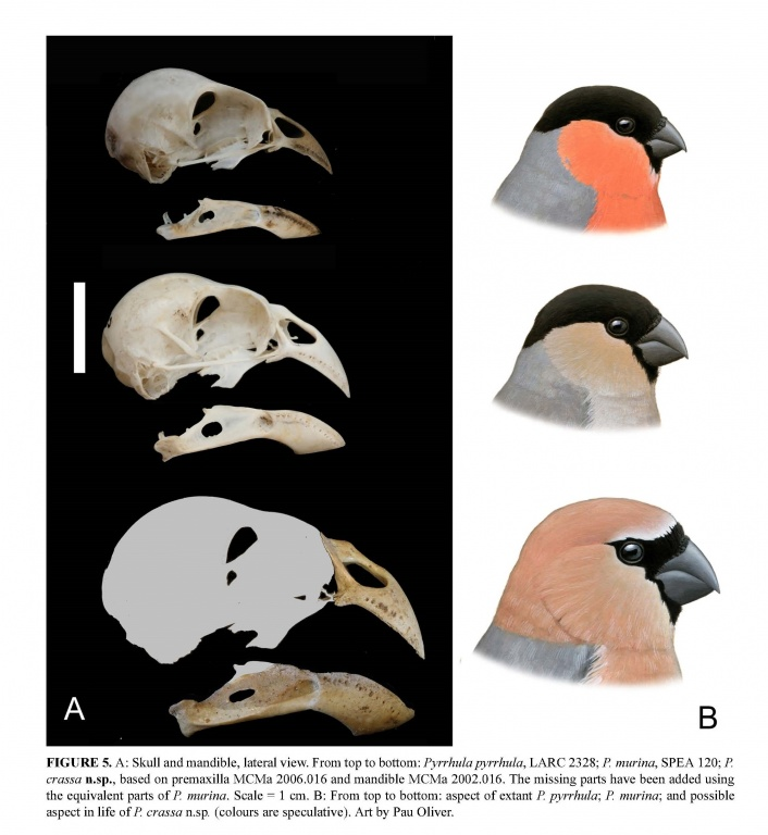 The newly discovered extinct bullfinch, compared to two related species