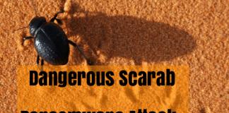 Scarabey